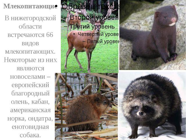 Млекопитающие В нижегородской области встречаются 66 видов млекопитающих. Не...
