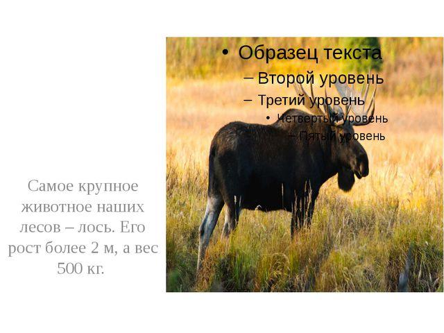 Самое крупное животное наших лесов – лось. Его рост более 2 м, а вес 500 кг.