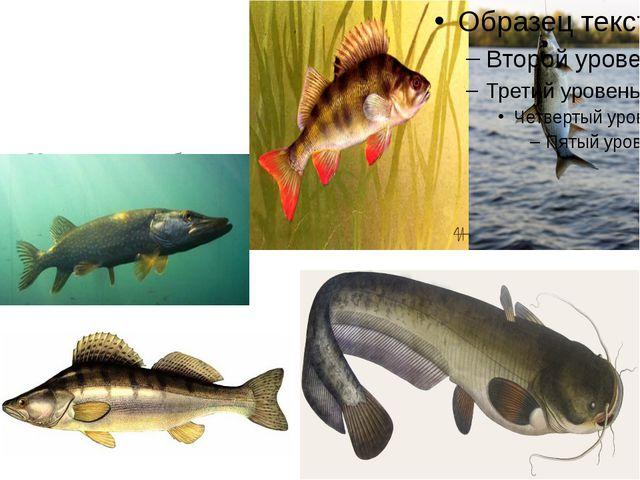 Хищными рыбами Нижегородской области являются: щука, окунь, жерех, сом и суд...