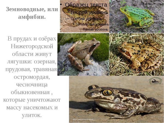 Земноводные, или амфибии. В прудах и озёрах Нижегородской области живут лягу...