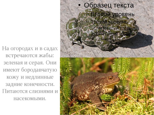 На огородах и в садах встречаются жабы: зеленая и серая. Они имеют бородавча...