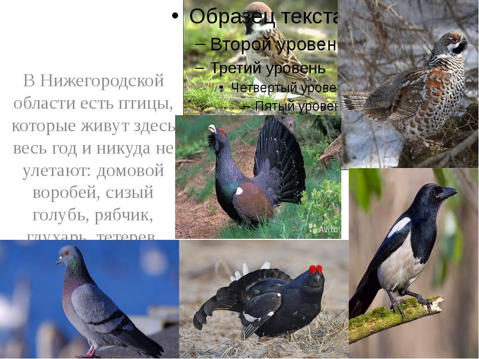 В Нижегородской области есть птицы, которые живут здесь весь год и никуда не...