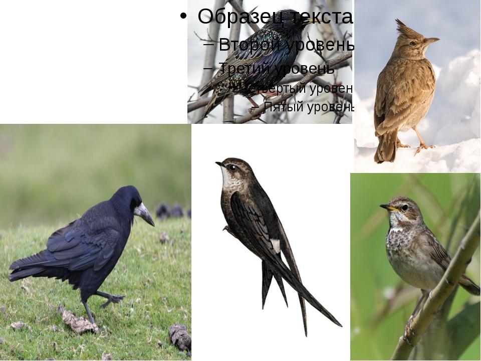 А также насекомоядные – грачи, скворцы, жаворонки, ласточки, стрижи и другие.