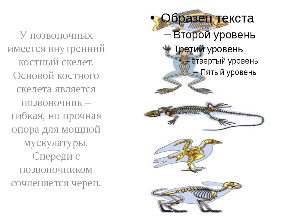 У позвоночных имеется внутренний костный скелет. Основой костного скелета яв...
