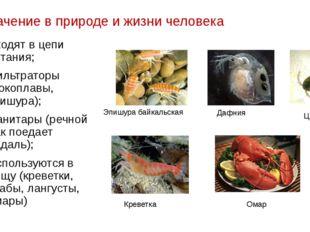 Значение в природе и жизни человека Входят в цепи питания; Фильтраторы (бокоп