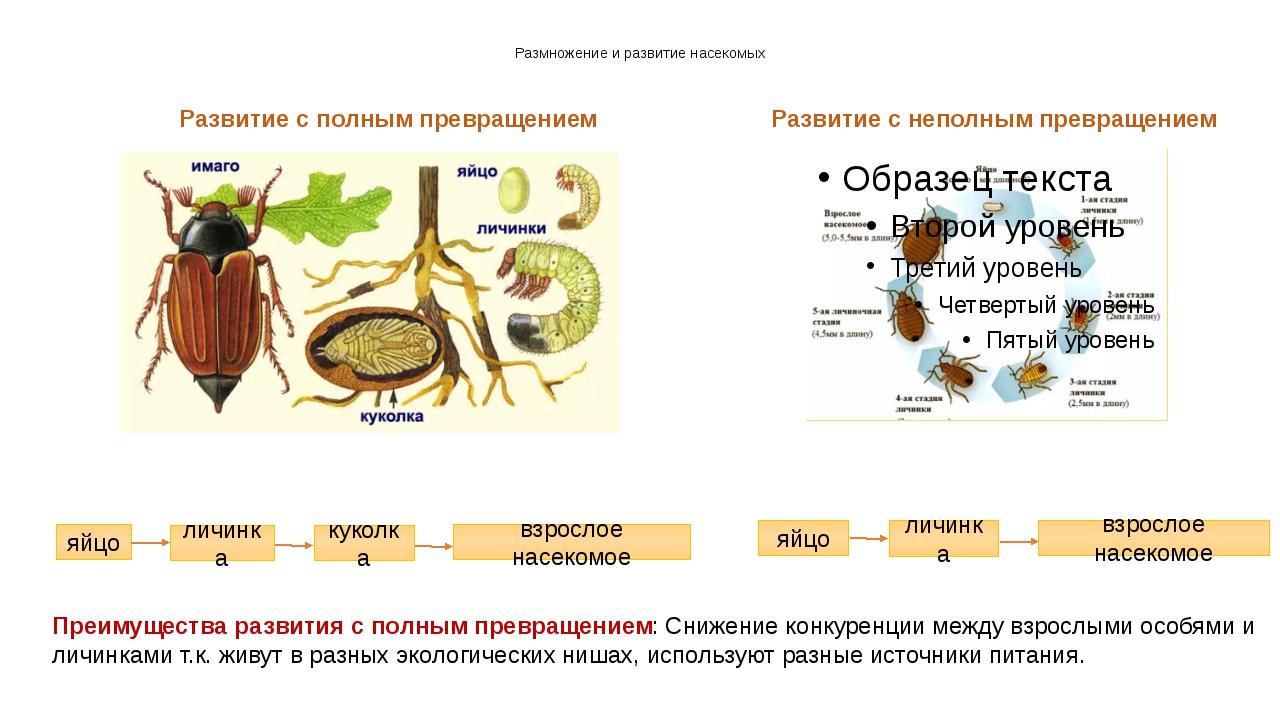Размножение и развитие насекомых Развитие с полным превращением Развитие с не...