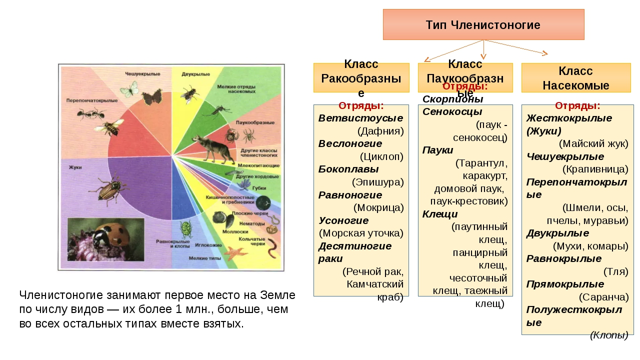 Тип Членистоногие Класс Ракообразные Класс Паукообразные Класс Насекомые Отря...