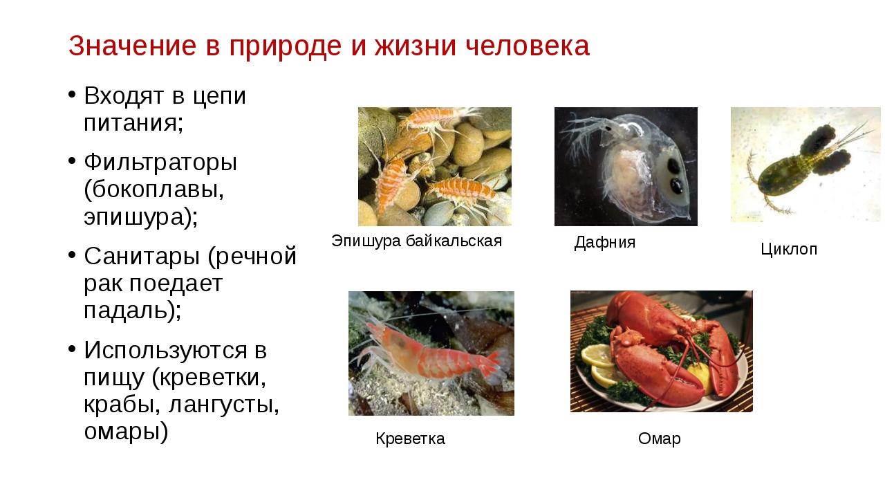 Значение в природе и жизни человека Входят в цепи питания; Фильтраторы (бокоп...