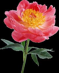 Пышные цветы Пионы, розовые, рисованные - цветочный клипарт на прозрачном фоне