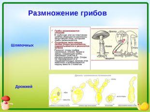 Размножение грибов Шляпочных Дрожжей