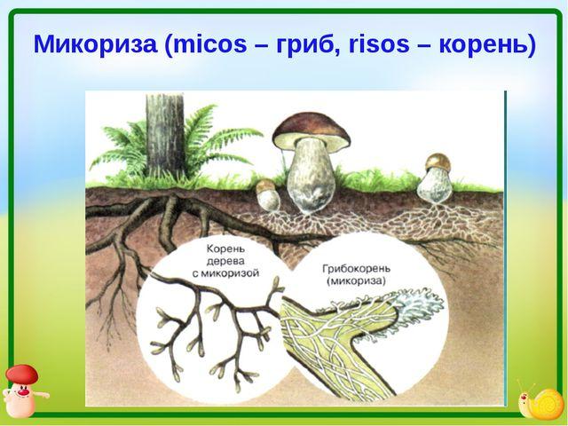 Микориза (micos – гриб, risos – корень)