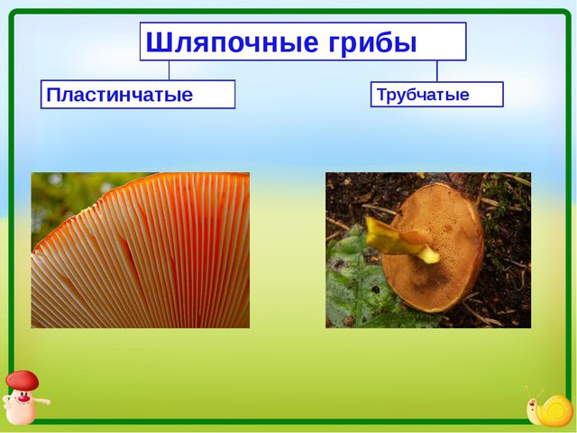 Шляпочные грибы Пластинчатые Трубчатые