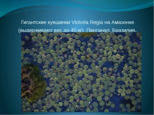 Гигантские кувшинки Victoria Regia на Амазонке (выдерживают вес до 45 кг). Па