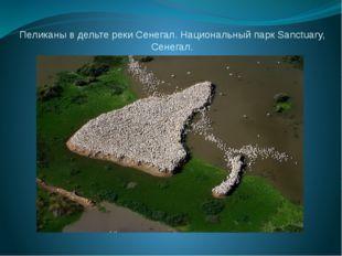 Пеликаны в дельте реки Сенегал. Национальный парк Sanctuary, Сенегал.