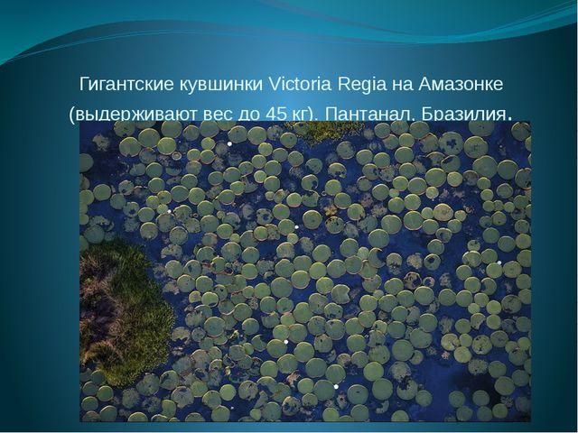 Гигантские кувшинки Victoria Regia на Амазонке (выдерживают вес до 45 кг). Па...