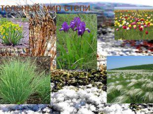 Растительный мир степи Гусиный лук Типчак Ирис Тюльпан Ковыль