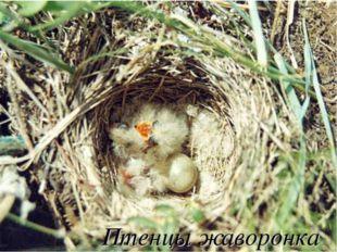 Птенцы жаворонка