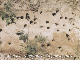 Гнёзда ласточек - береговушек