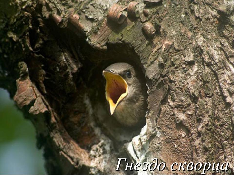 Гнездо скворца