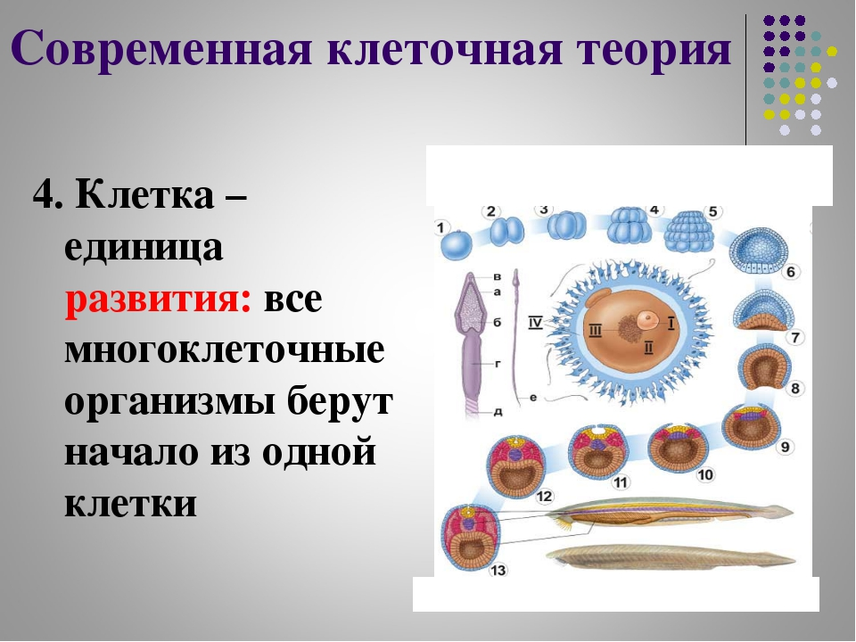 Современная клеточная теория 4. Клетка – единица развития: все многоклеточные...