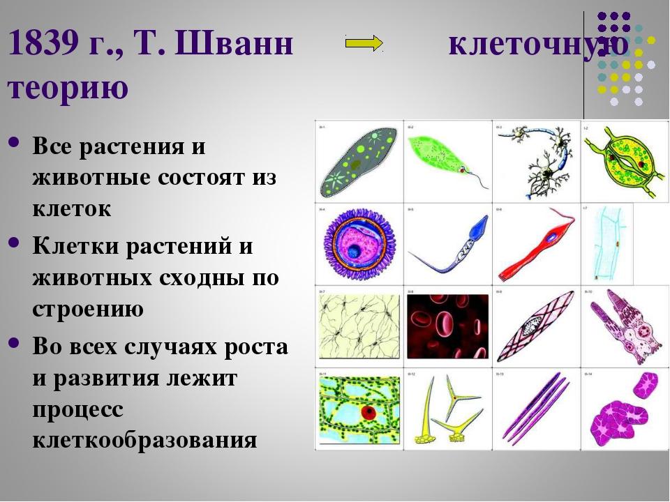 1839 г., Т. Шванн клеточную теорию Все растения и животные состоят из клеток...