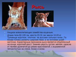 Рысь Хищное млекопитающее семейства кошачьих. Длина тела 82-105 см, хвоста 20