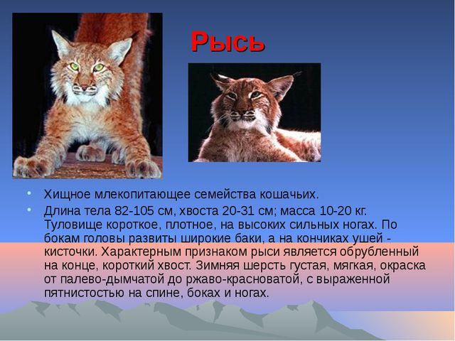 Рысь Хищное млекопитающее семейства кошачьих. Длина тела 82-105 см, хвоста 20...