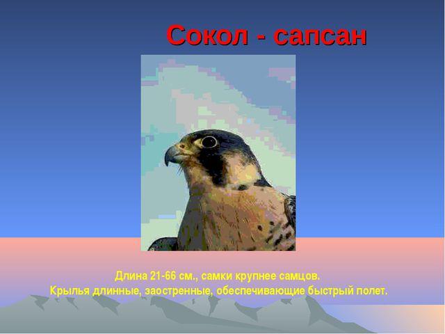 Сокол - сапсан Длина 21-66 см., самки крупнее самцов. Крылья длинные, заостр...