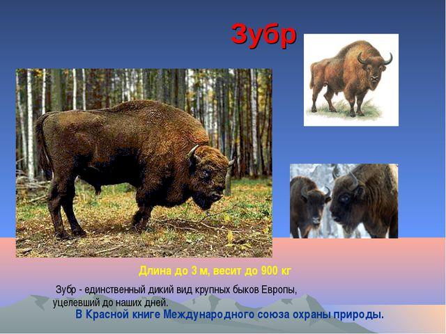 Зубр Длина до 3 м, весит до 900 кг Зубр - единственный дикий вид крупных быко...