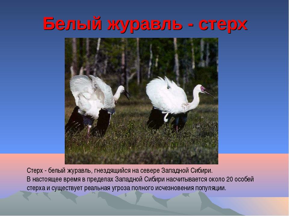 Белый журавль - стерх Стерх - белый журавль, гнездящийся на севере Западной С...