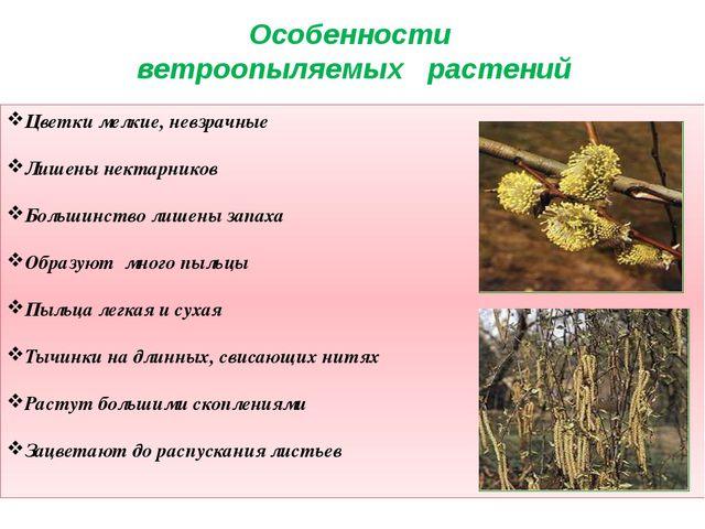 Цветки мелкие, невзрачные Лишены нектарников Большинство лишены запаха Образу...