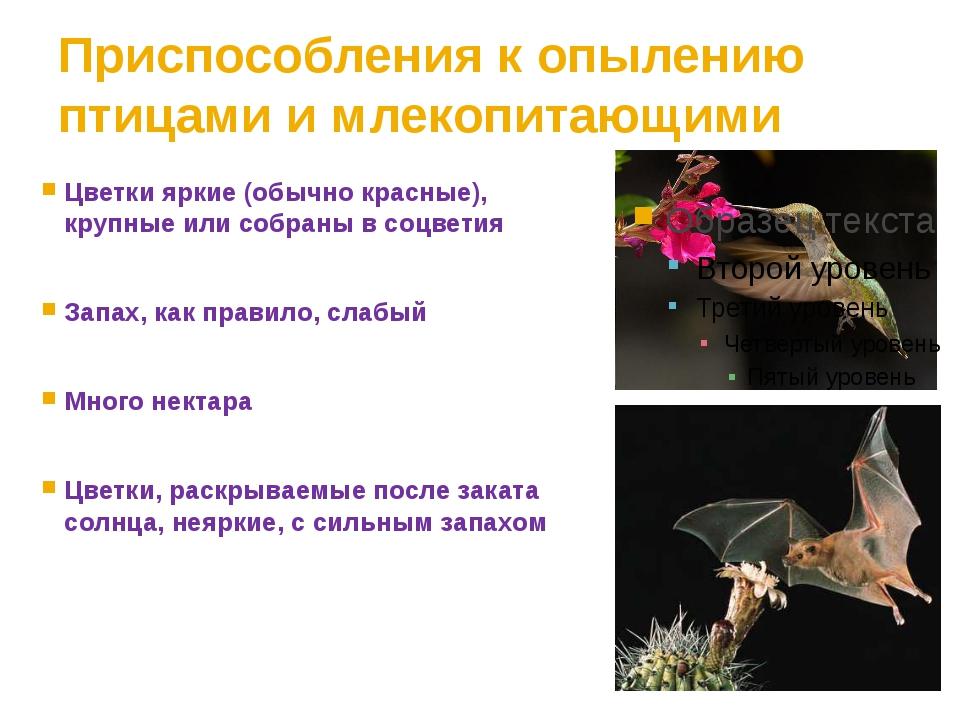 Приспособления к опылению птицами и млекопитающими Цветки яркие (обычно красн...