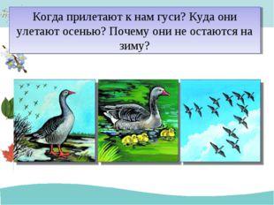 Когда прилетают к нам гуси? Куда они улетают осенью? Почему они не остаются н