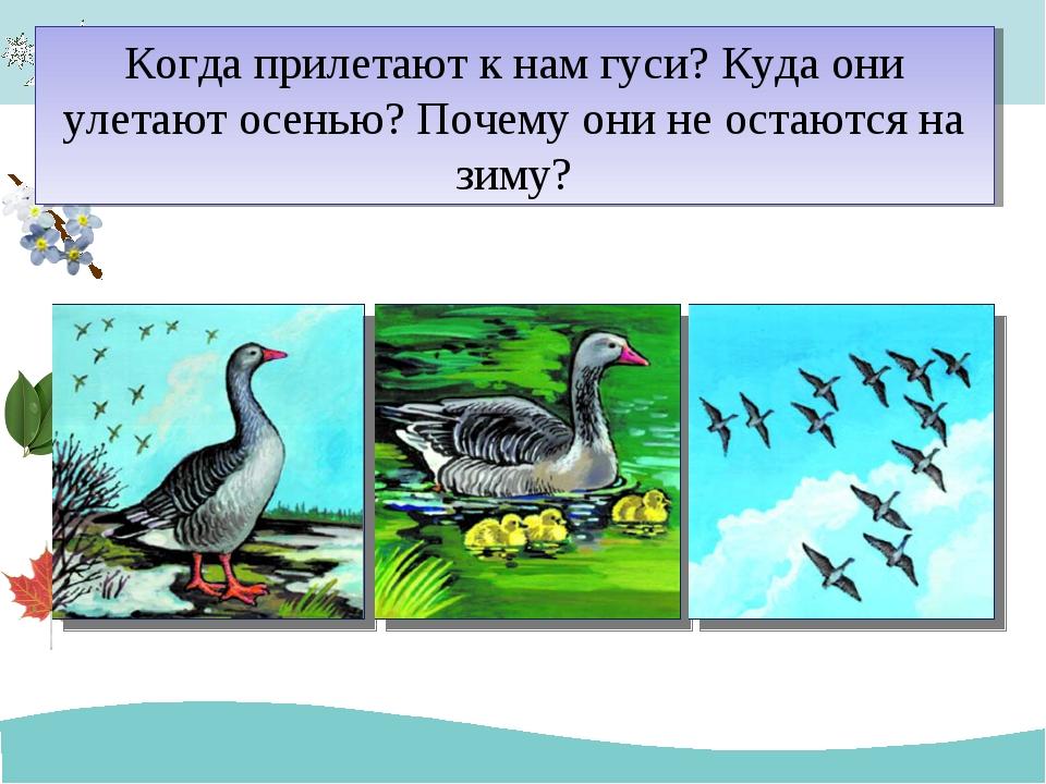 Когда прилетают к нам гуси? Куда они улетают осенью? Почему они не остаются н...