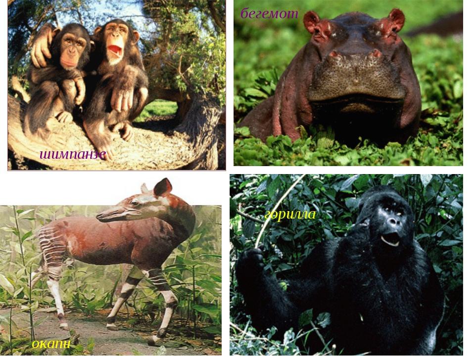шимпанзе окапи горилла бегемот окапи