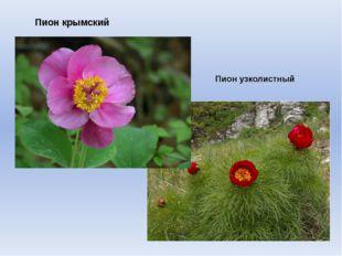Пион крымский Пион узколистный