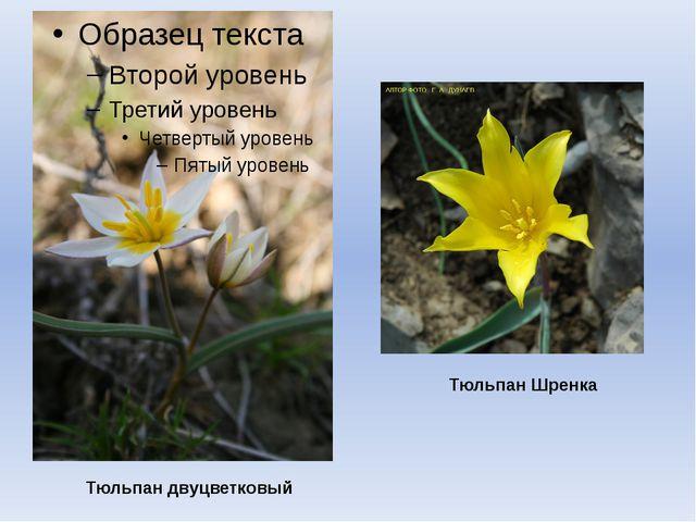 Тюльпан двуцветковый Тюльпан Шренка