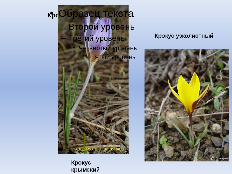 Крокус Крокус крымский Крокус узколистный