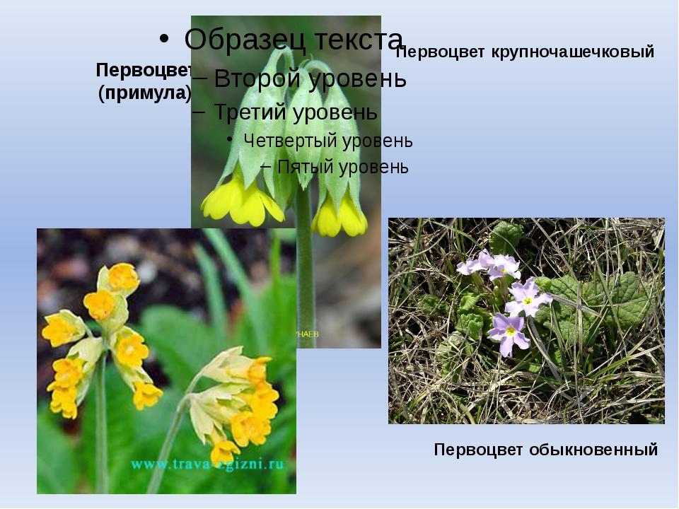 Первоцвет (примула) Первоцвет обыкновенный Первоцвет крупночашечковый