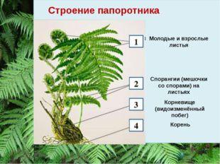 Строение папоротника Молодые и взрослые листья Спорангии (мешочки со спорами)