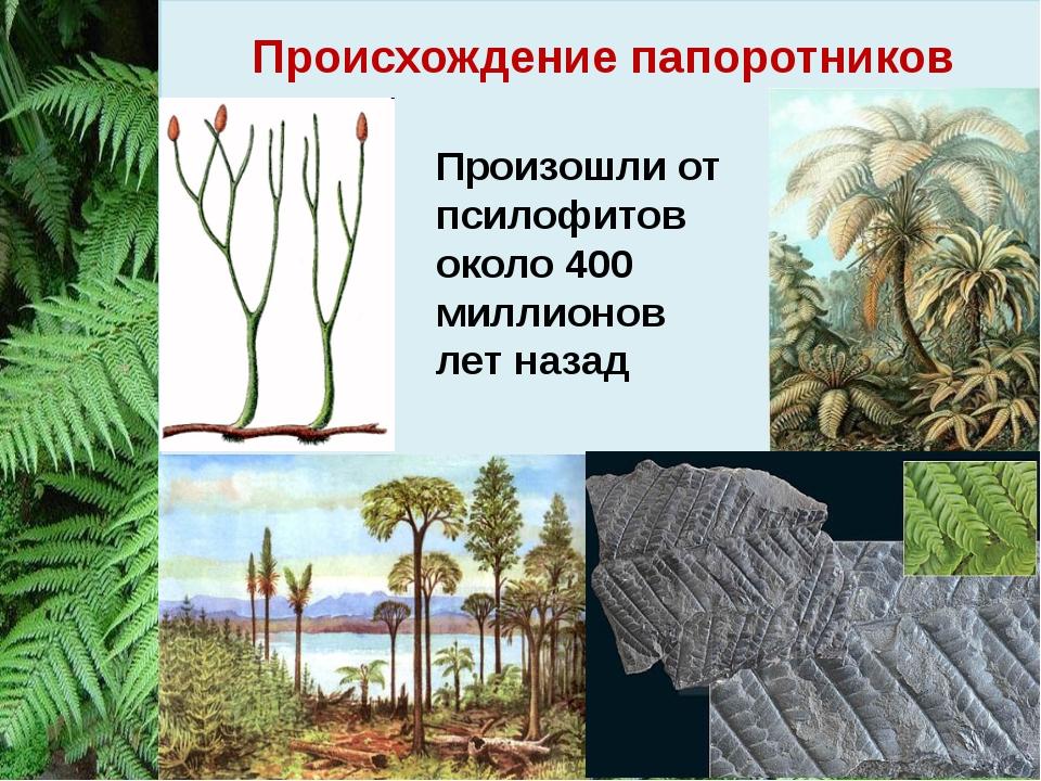 Происхождение папоротников Произошли от псилофитов около 400 миллионов лет на...