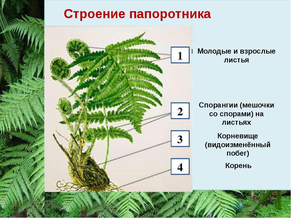 Строение папоротника Молодые и взрослые листья Спорангии (мешочки со спорами)...