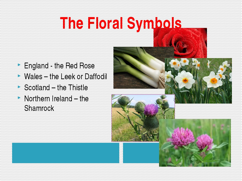 The Floral Symbols England - the Red Rose Wales – the Leek or Daffodil Scotla...