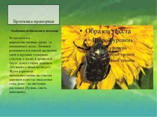Бронзовка мраморная Особенности биологии и экологии Встречается в широколис