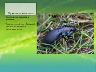 Жужелица фиолетовая Особенности биологии и экологии Типично лесной вид, обита