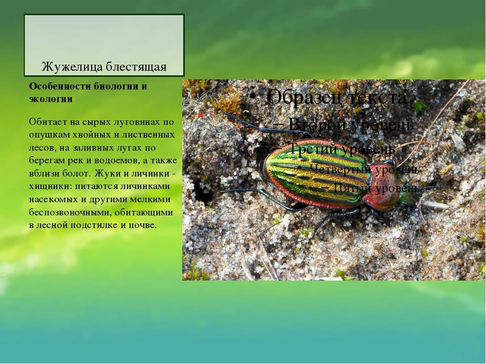 Жужелица блестящая Особенности биологии и экологии Обитает на сырых луговинах...