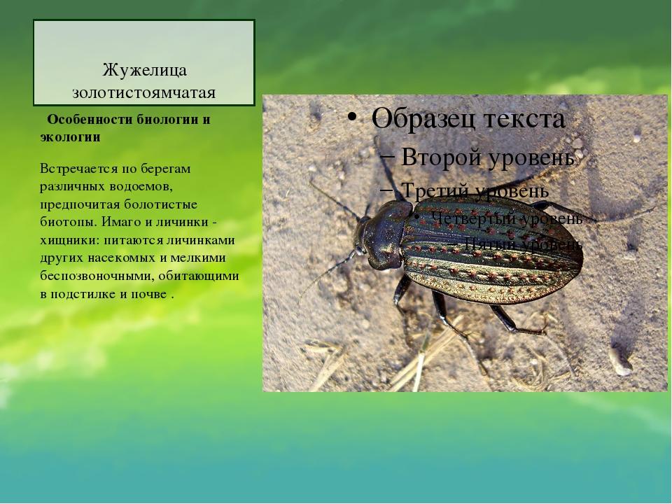 Жужелица золотистоямчатая Особенности биологии и экологии Встречается по бе...