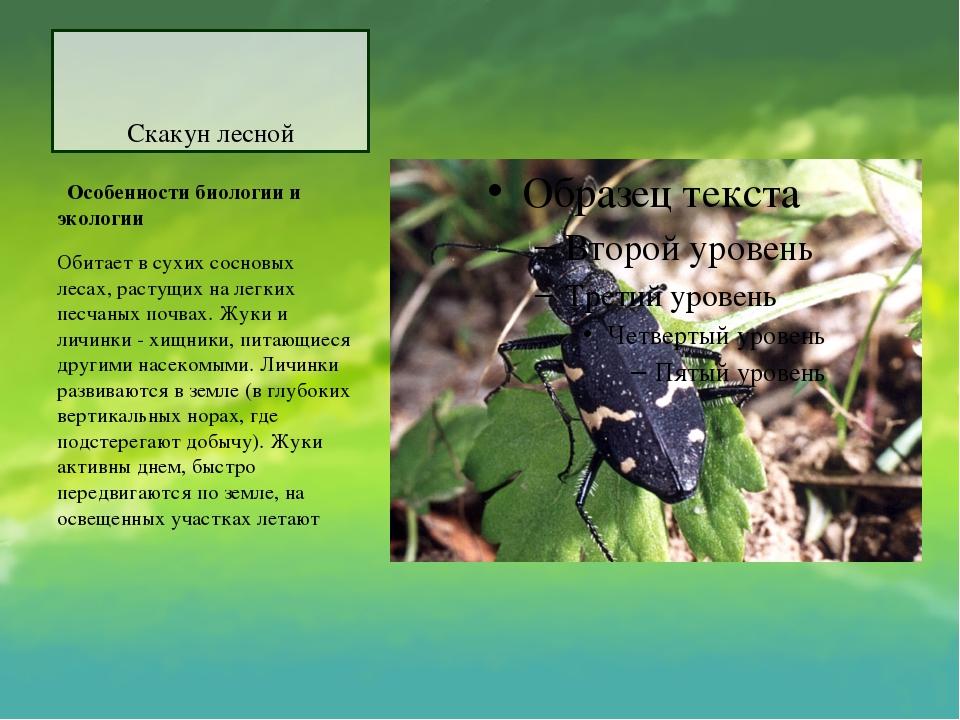 Скакун лесной Особенности биологии и экологии Обитает в сухих сосновых леса...