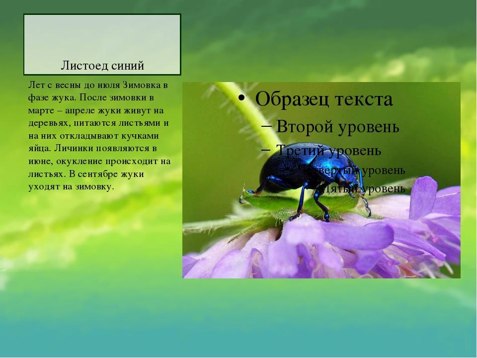 Листоед синий Лет с весны до июля Зимовка в фазе жука. После зимовки в марте...