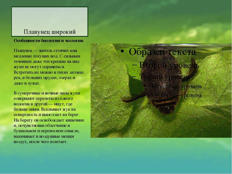 Плавунец широкий Особенности биологии и экологии Плавунец — житель стоячих ил...